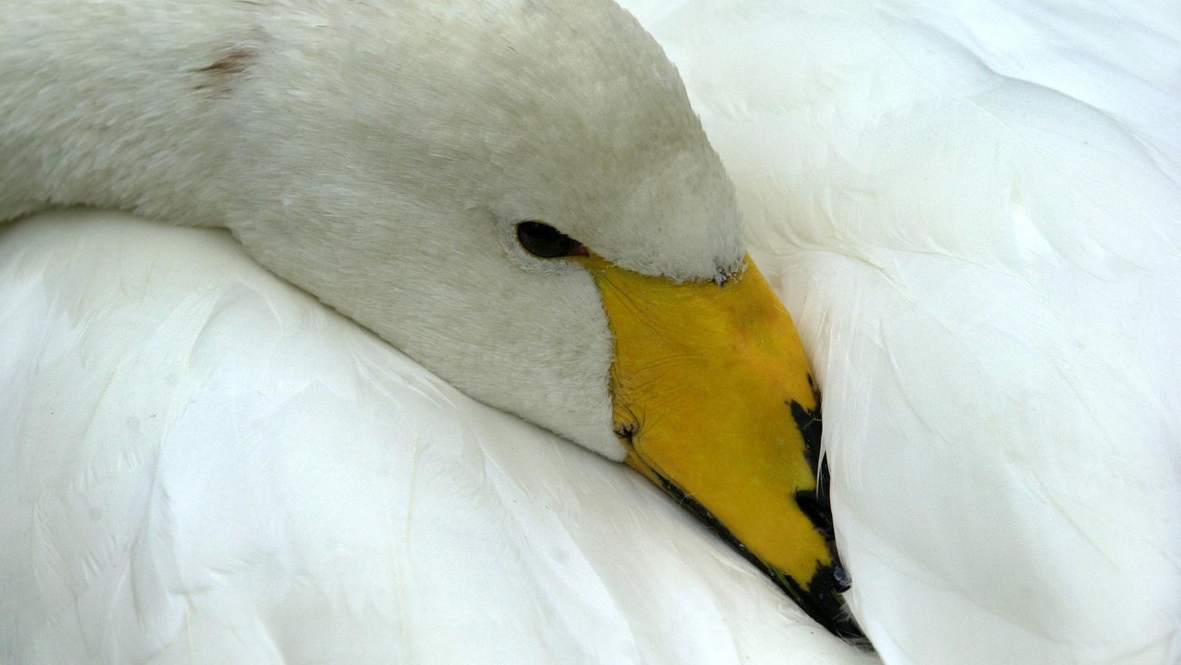 Der auf der Havel gelandete Singschwan kann wohl nicht gerettet werden (Symbolbild).