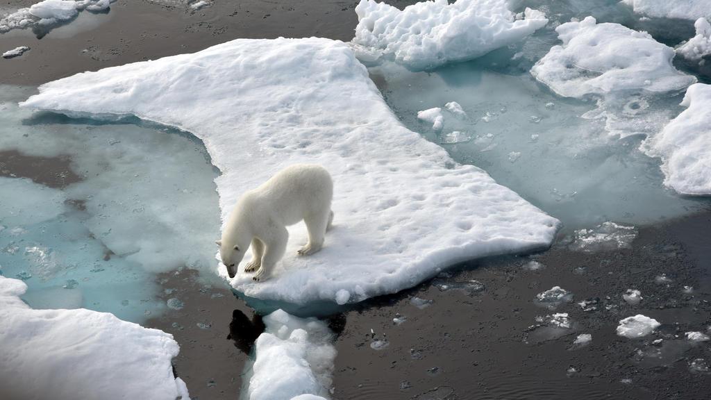 Durch die Eisschmelze in der Arktis verlieren Eisbären immer mehr an Lebensraum.