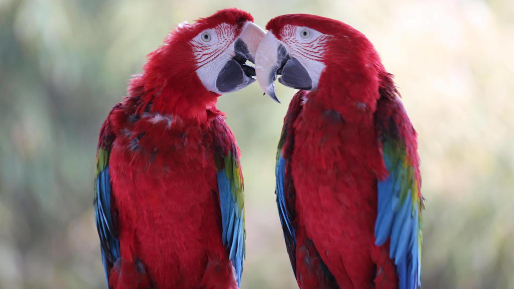 Papageien - hier zwei Aras