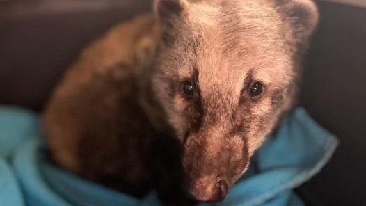Dieser Nasenbär ist aus seinem Gehege in der Wildtierhilfe Isernhagen gestohlen worden. Jetzt ist er wieder aufgetaucht.