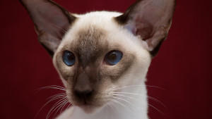 Siam Katzen gelten als frühreif: schon nach vier bis fünf Monaten können sie sich vermehren