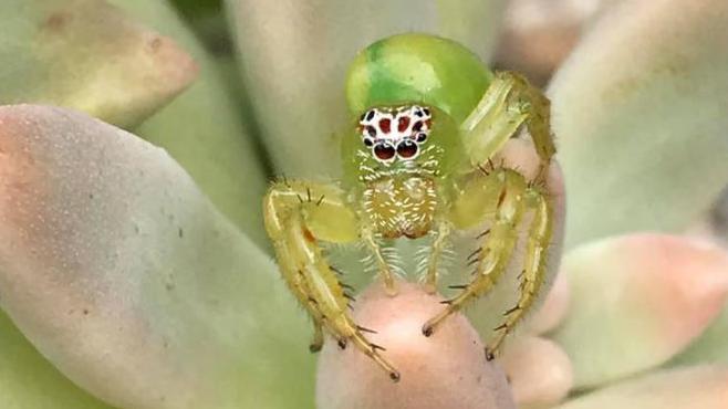 Mopsus Mormon - die vielleicht süßeste Spinne der Welt.