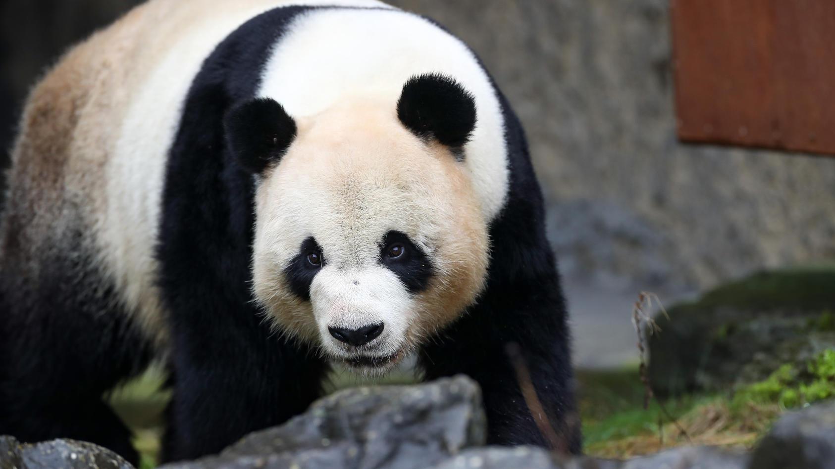 In einem belgischen Tierpark hat ein Pandabär am Samstagnachmittag einen Pfleger schwer verletzt.