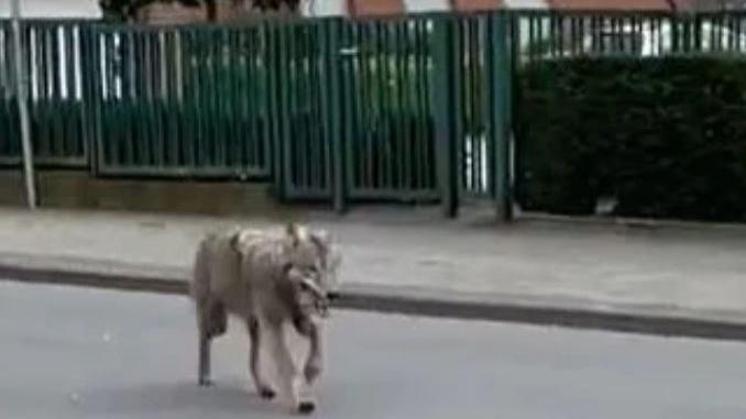 Screenshot des Wolfs in Lohne.