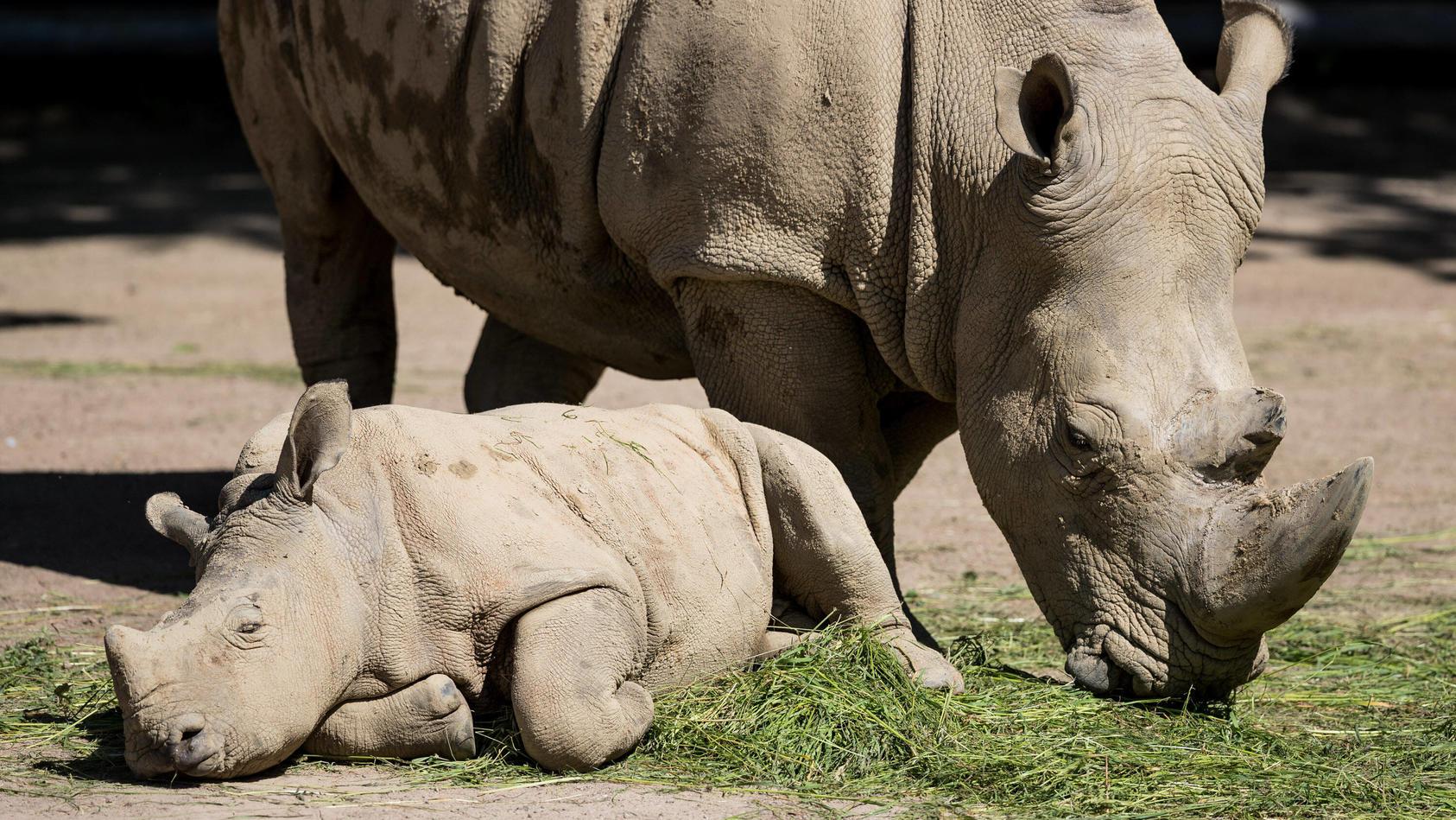 (Archiv) Nashorn Willi und seine Mama im Zoo Dortmund.