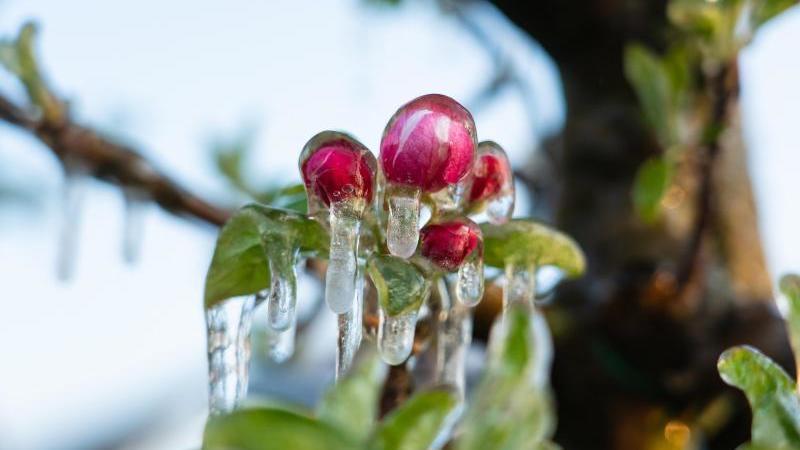 Apfelblüte ist nach einer Frostschutzberegnung mit Eis bedeckt