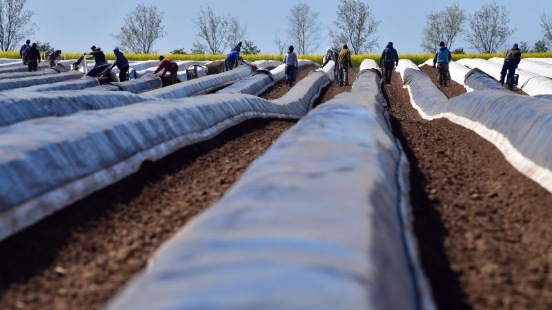 Spargel wird geerntet auf einem Feld des Spargelhof Kutzleben. Foto: Martin Schutt/dpa-Zentralbild/dpa/Archivbild