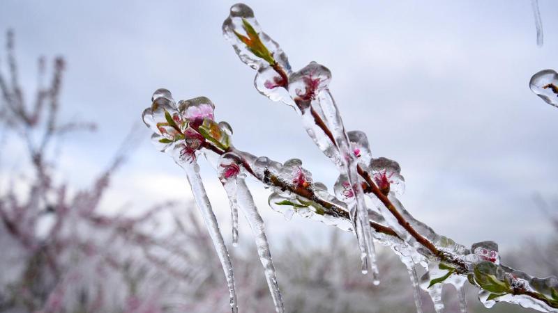 Eis zieht sich über Blütenknospen einer Pflanze. Foto: Rene Priebe/dpa/Symbolbild