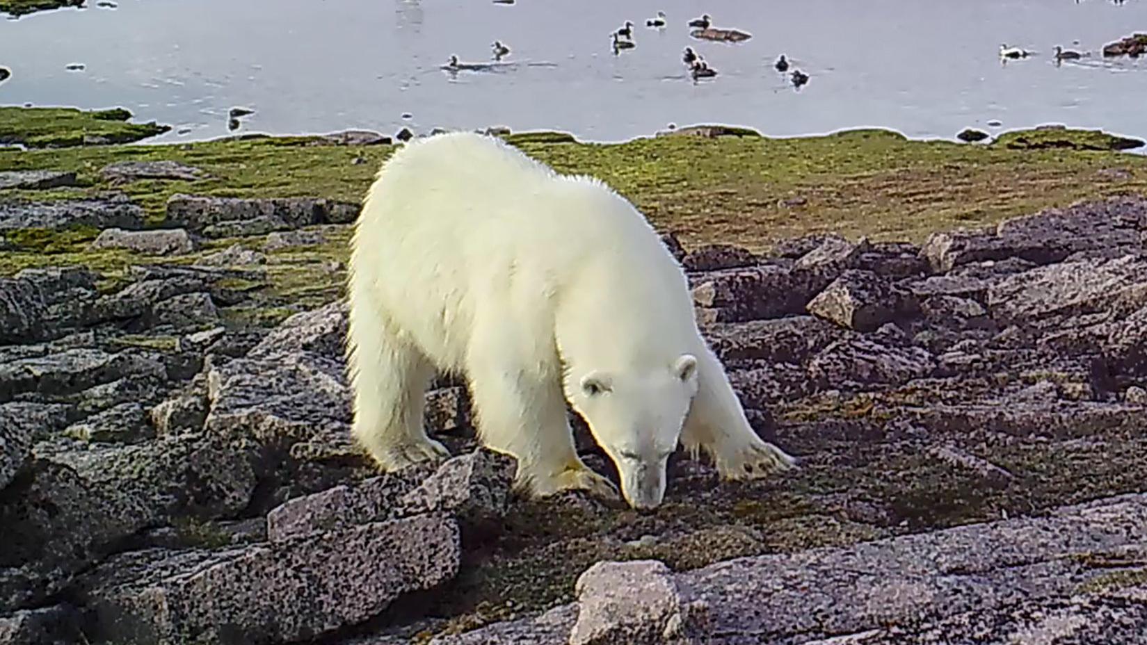 Eisbär auf Futtersuche. Wenn keine Robben gejagt werden können, muss der Sommerspeck von Eiern kommen.