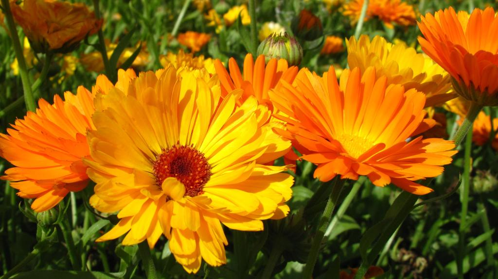 Field with calendula officinalis blossoms