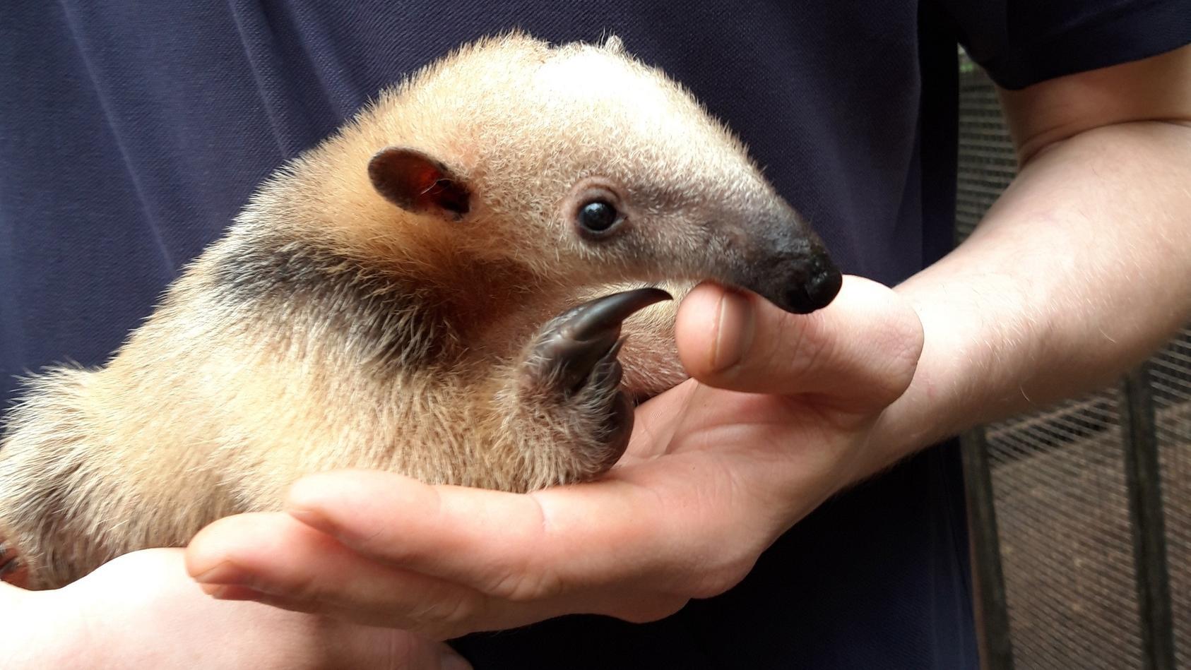 Nachwuchs im Duisburger Zoo: Mutter Persea brachte einen kleinen Ameisenbär zur Welt.