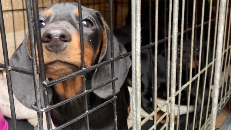Sieben Dackelwelpen fand die Polizei in Dortmund in einem möglicherweise illegalen Tiertransporter.