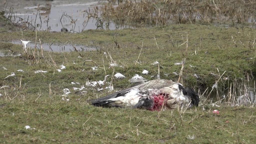 Vogelkadaver nach Infektion mit H5-Virus