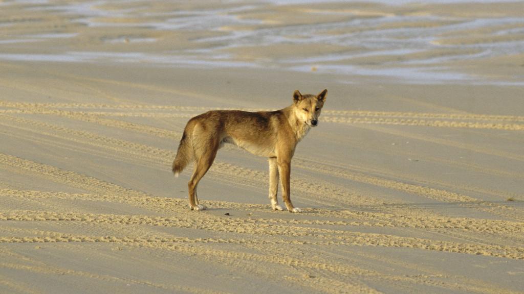 Auf Fraser Island leben viele Dingos.