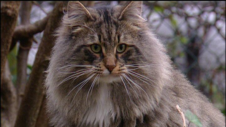 Eine Norwegische Waldkatze wie auf diesem Symbolfoto wurde von einer Gruppe betrunkener Männer entführt.