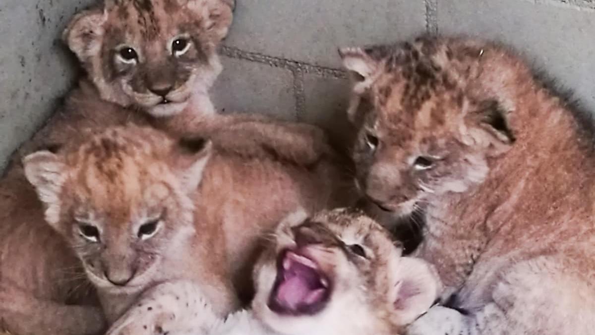 Löwenquartett: Zwei Katzen und zwei Kater sorgen für Wirbel im Leipziger Zoo.