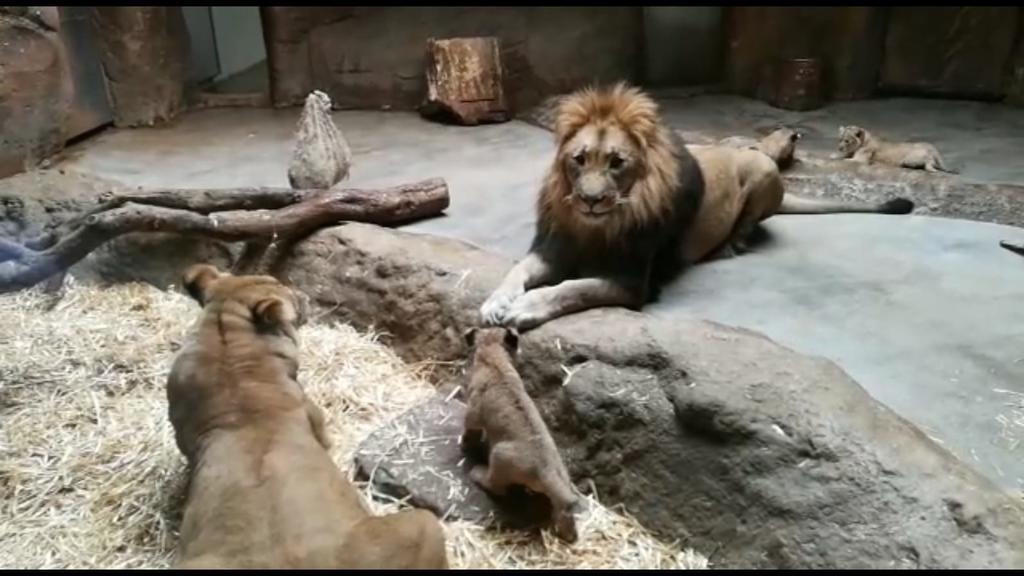 Löweneltern Kigali und Majo mit drei ihrer vier Jungen
