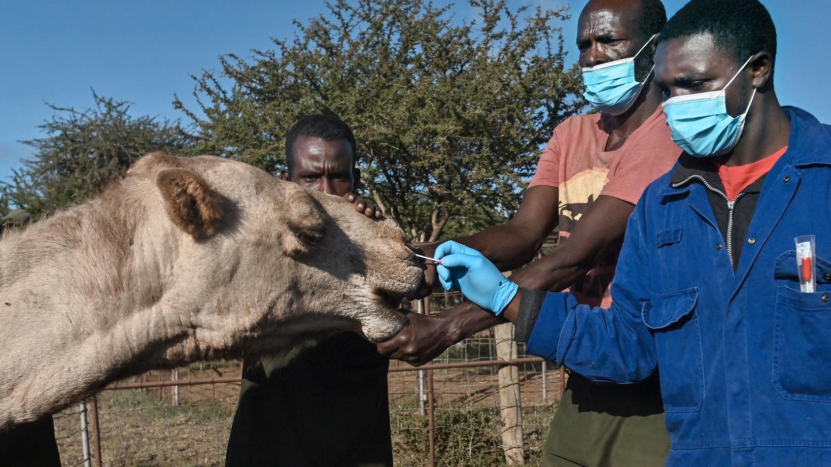 Veterinäre testen ein Kamel in Kenia mit Wattestäbchen auf das MERS-Virus.