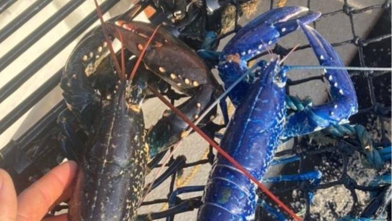 Ein Fischer aus Cornwall fing diesen blauen Hummer.