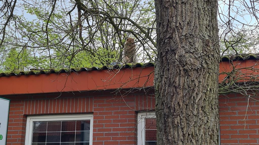 Entlaufene Affen in Friesoythe.