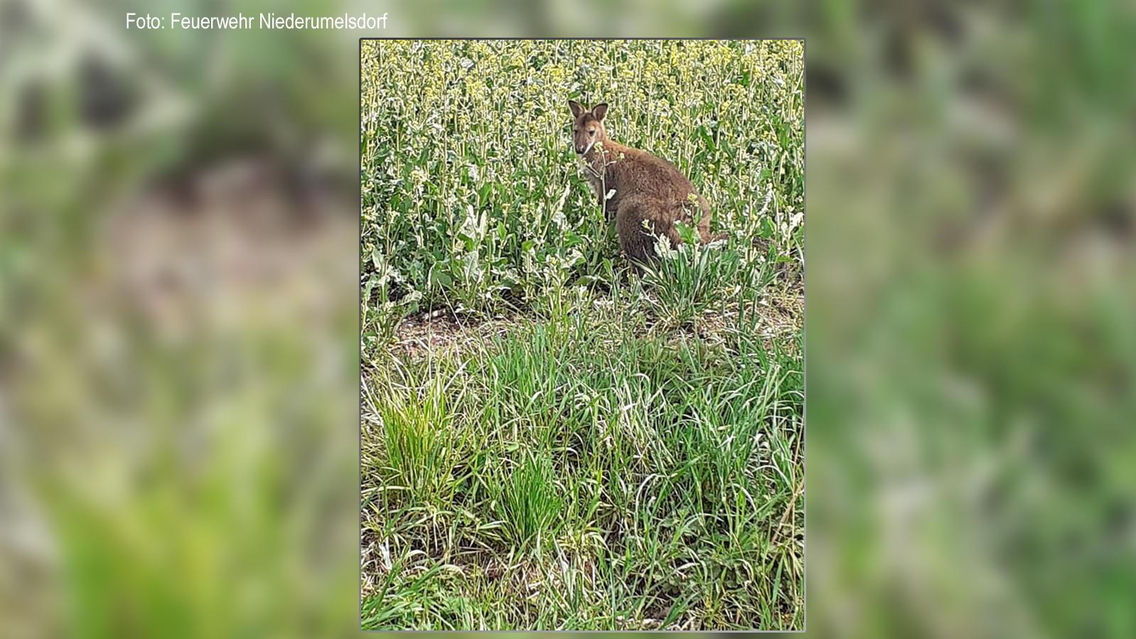 Dieses Känguru hüpft derzeit in Niederbayern durch die Gegend