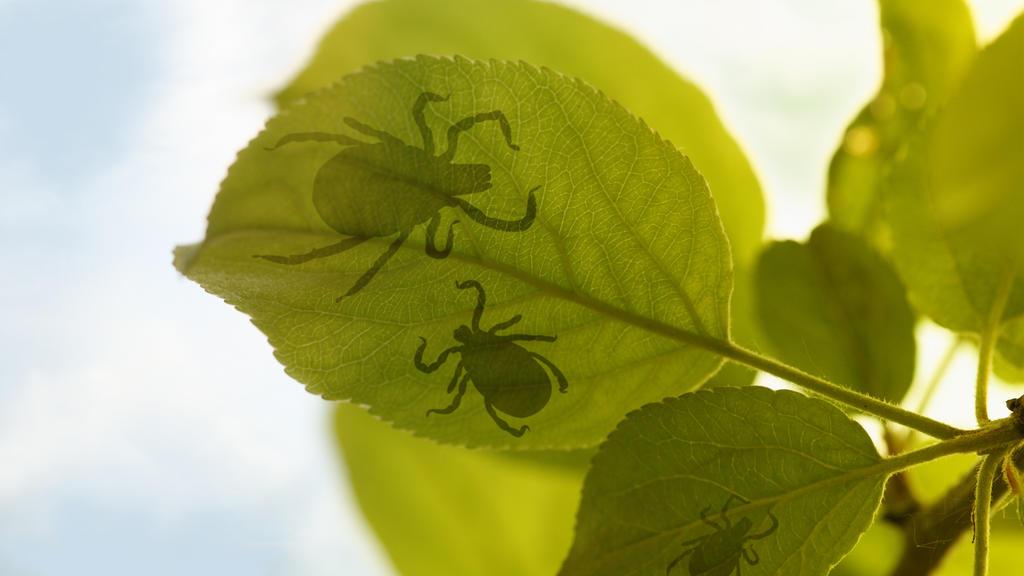 Wenn es wärmer wird, ist auch wieder Zeckenzeit. Die kleinen Insekten sitzen in hohen Gräsern, aber auch auf Blättern.