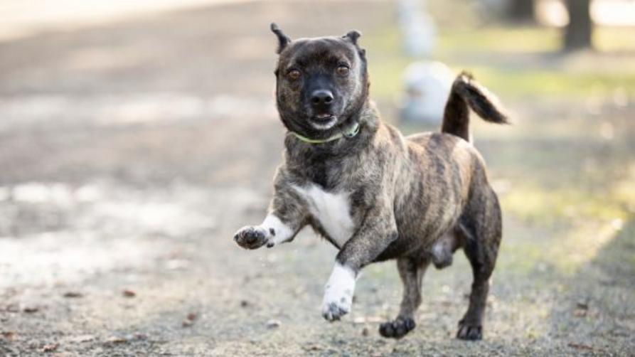 Der dreijährige Jack Russel Mix-Terrier lebt im Tierheim Berlin