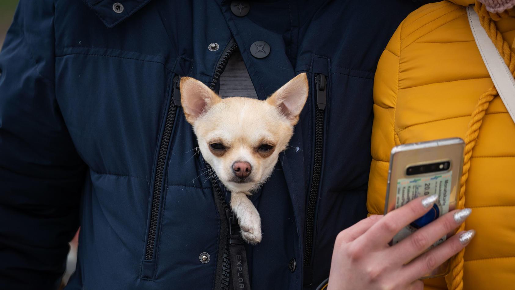 Ein kleiner Hund schaut vorne aus der Jacke seines Besitzers.