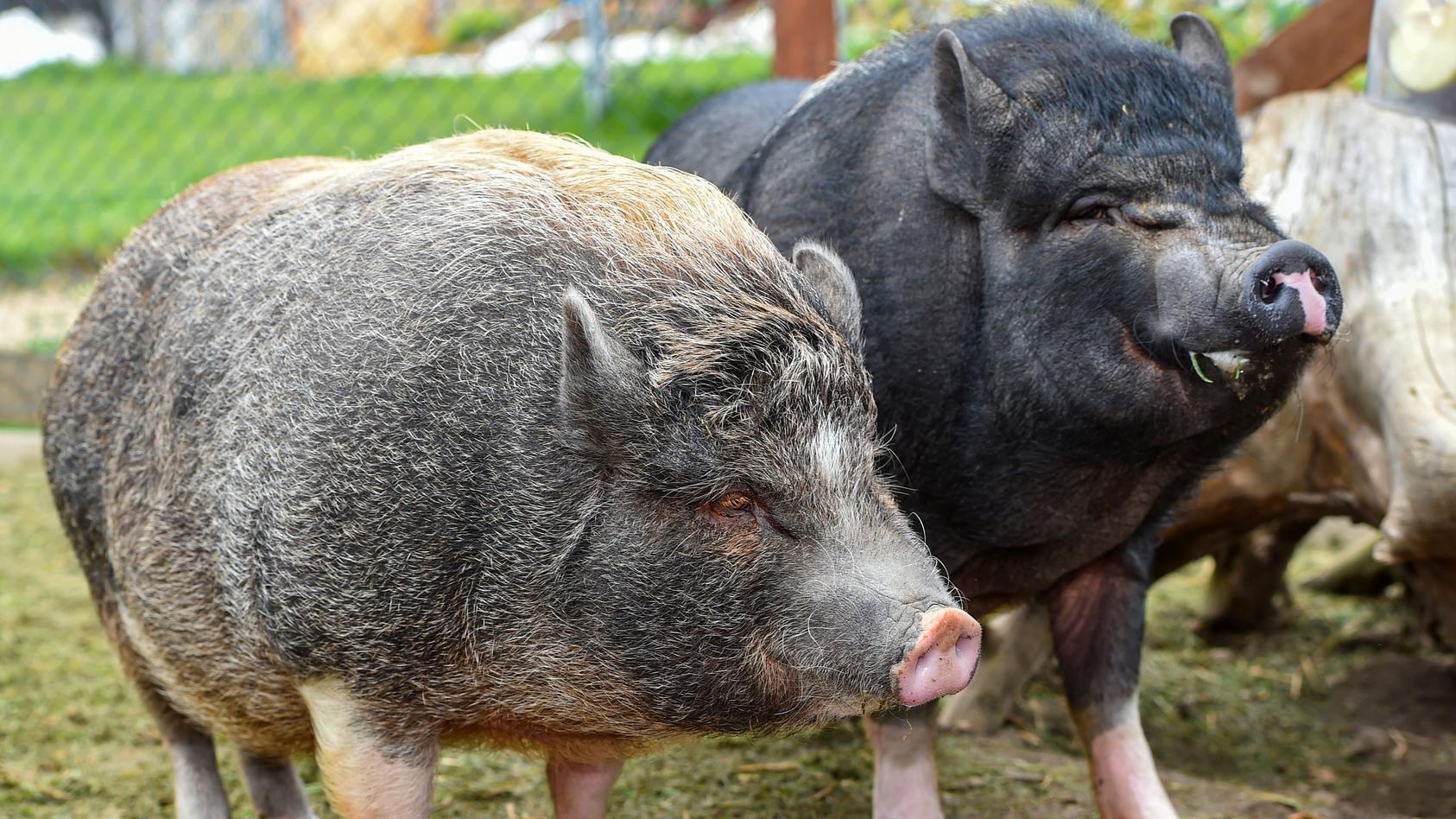 Die zwei Minischweine George und Harry wird es langsam zu eng und sie suchen ein neues Zuhause.