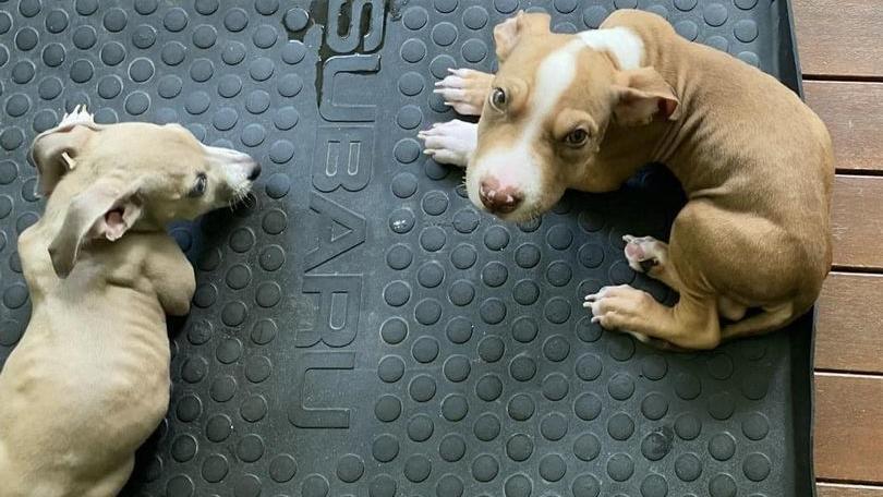 Ein Paar aus Cow Bay in Queensland hat seine Hunde vegan ernährt - eines der Tiere starb.