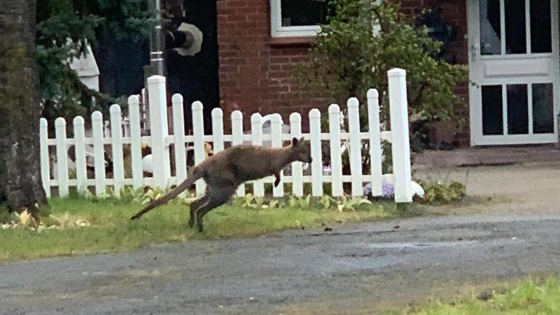 Ein Känguru wurde in Lauenbrück (Kreis Rotenburg) gesichtet. Foto: -/Polizeiinspektion Rotenburg/dpa/Handout