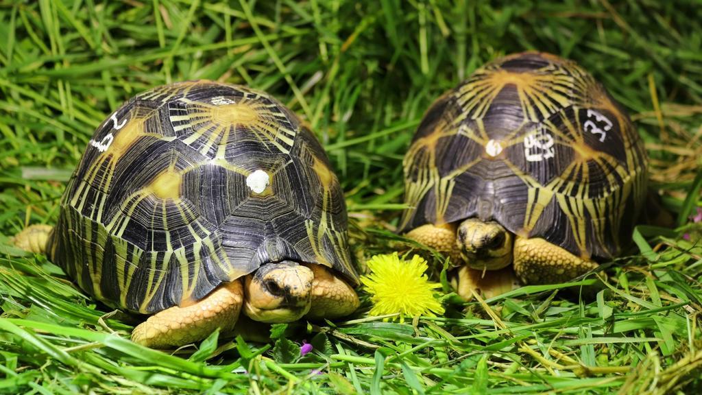 HANDOUT - 12.05.2021, Berlin: Strahlenschildkröten, die im Gepäck eines Schmugglers konfisziert wurden, haben im Tierpark Berlin ein neues Zuhause gefunden. Der Berliner Tierpark nimmt 57 Exemplare zweier vom Aussterben bedrohter Schildkrötenarten au