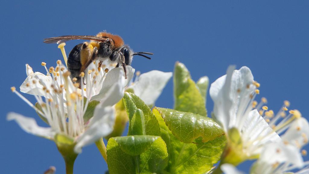 26.04.2021, Rheinland-Pfalz, Mainz: Eine Biene sitzt auf der Blüte eines Obstbaumes. Kalte Nachttemperaturen machen den Obstbäumen in Rheinland-Pfalz regional zu schaffen - jedoch reichen je nach Obstsorte zehn bis 30 Prozent der Blüten für eine norm