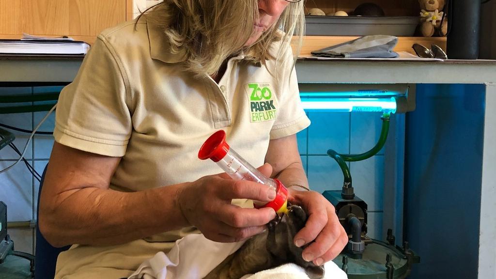 Flaschenaufzucht Känguru-Baby