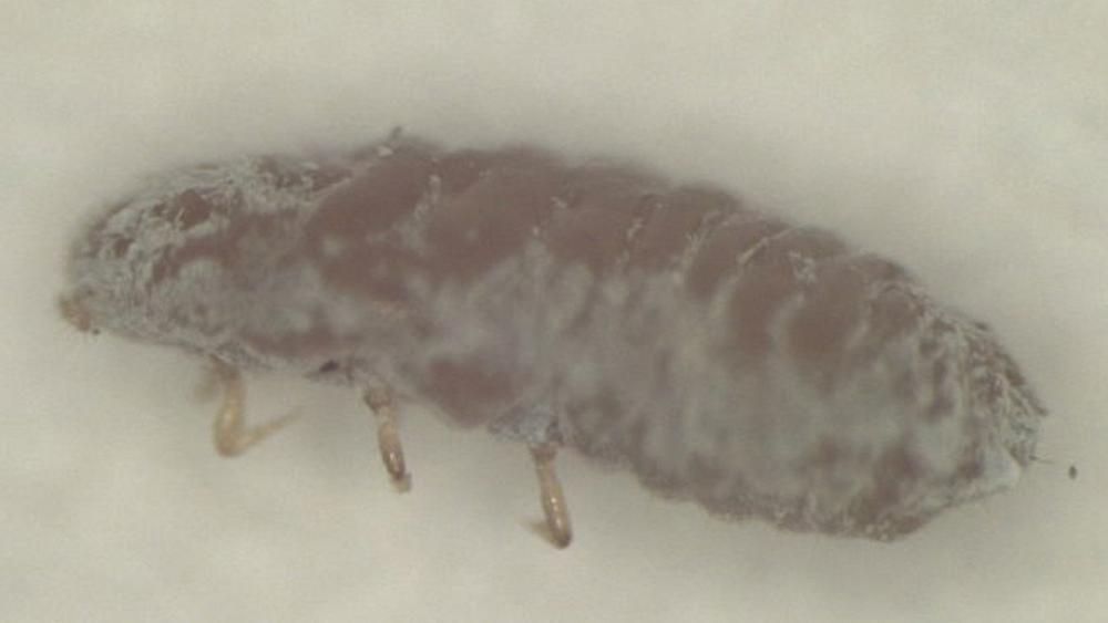 Gefährliche Laus Ripersiella hibisci