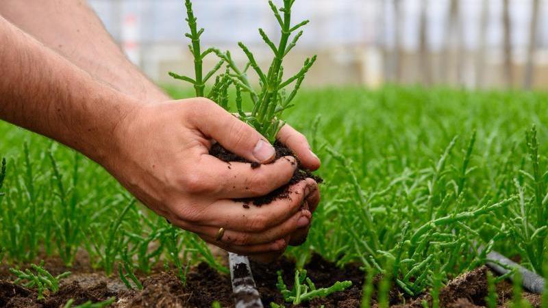 Eine Probe aus einem Salicornia-Beet wird entnommen. Foto: Klaus-Dietmar Gabbert/dpa-Zentralbild/dpa/Archivbild