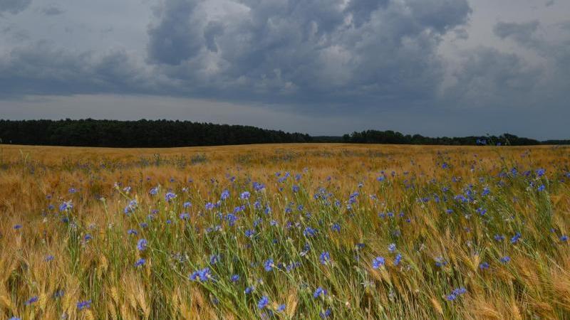 Im Wind bewegen sich blaue Kornblumen und Getreideähren in einem Kornfeld. Foto: Patrick Pleul/dpa-Zentralbild/ZB/Archivbild