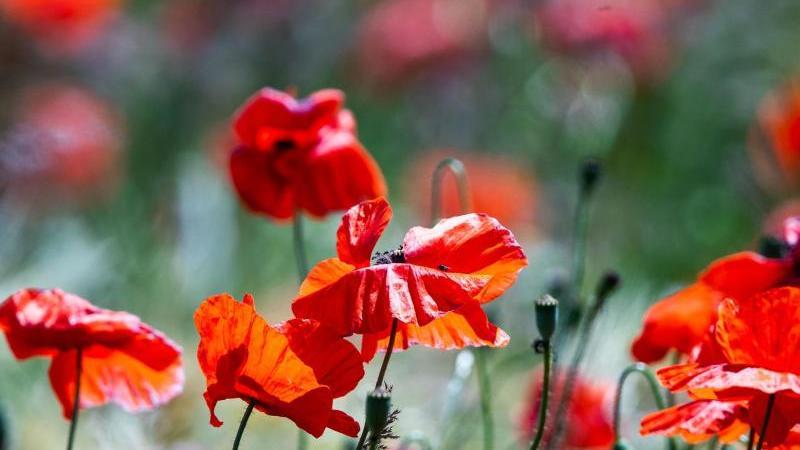 Blüten von Mohnpflanzen werden von der Sonne angeleuchtet. Foto: Jens Büttner/dpa-Zentralbild/dpa/Archivbild