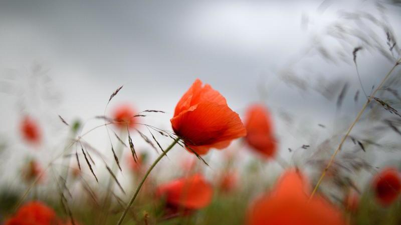 Dunkle Wolken ziehen über rote Mohnblumen hinweg. Foto: Klaus-Dietmar Gabbert/dpa-Zentralbild/ZB/Archivbild