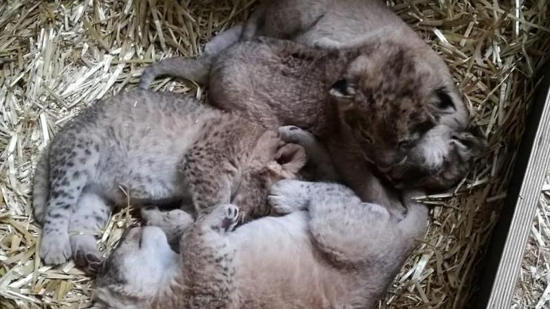 Der Wurf von Löwenpaar Kigali und Majo im Leipziger Zoo. Foto: -/Zoo Leipzig/dpa/Archivbild