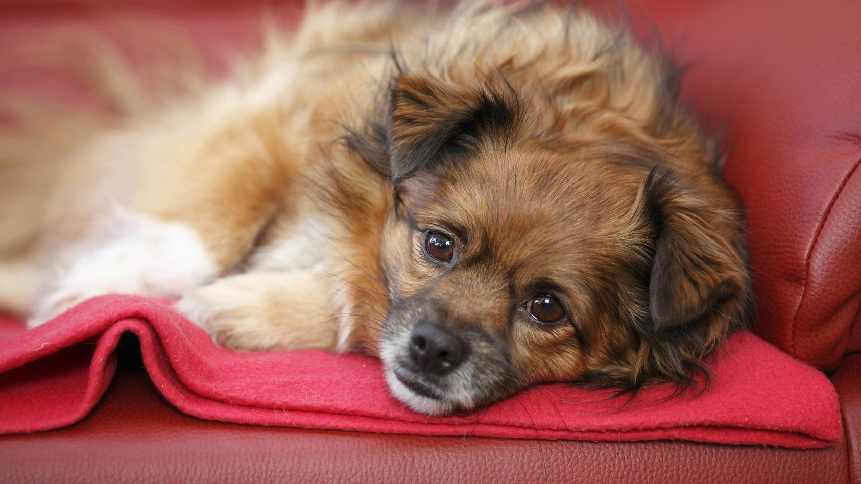 Warum sich Ihr Hund sofort auf Ihren Platz setzt, wenn Sie aufstehen