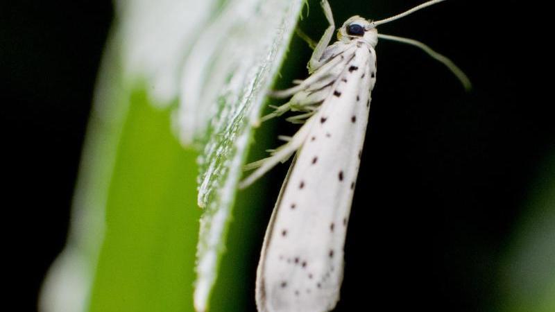 Die Apfelgespinstmotte ist ein etwa zwei Zentimeter großer Schmetterling mit weißen, schwarz-gepunkteten Vorderflügeln. Foto: Julian Stratenschulte/dpa/dpa-tmn/Symbolbild