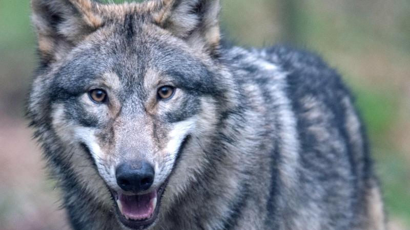 Ein Wolf läuft durch ein Freigehege im Wildpark Alte Fasanerie. Foto: Boris Roessler/dpa/Symbolbild