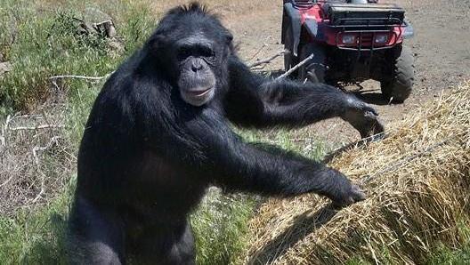 Tierschützer sind vom Angriff des Affen auf einen Menschen nicht überrascht.