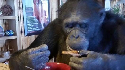 Schimpanse Buck Oregon