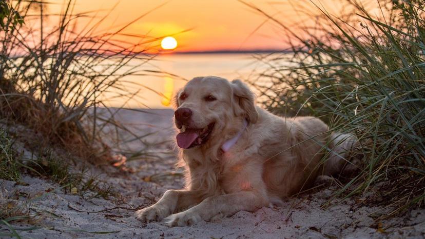 Hund liegt vor Sonnenuntergang