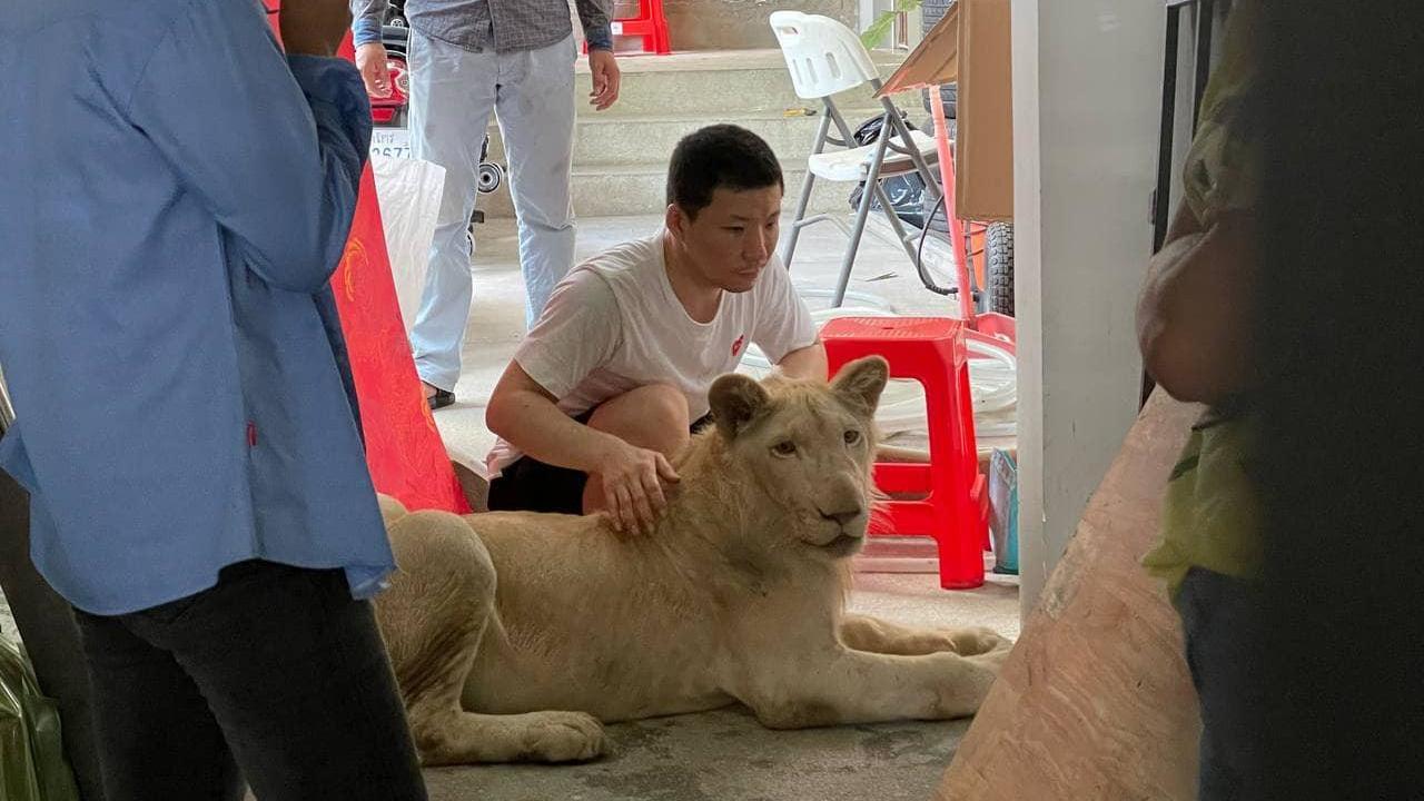 Der Löwe wurde in Kambodscha illegal als Haustier gehalten.