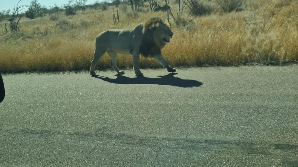 Löwe im Kruger Nationalpark Südafrika