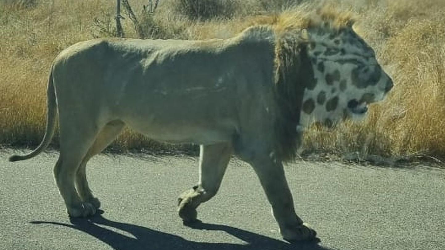 Der Löwe auf diesem Foto hat einen ungewöhnlichen Kopf. Grund: Eine optische Täuschung.