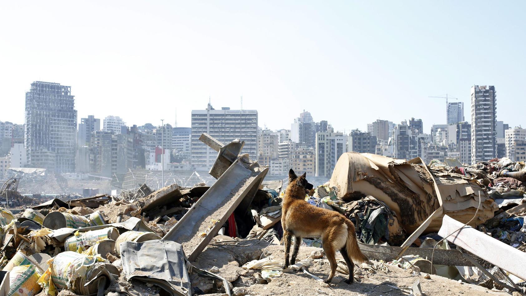 Rettungshund in Beirut.